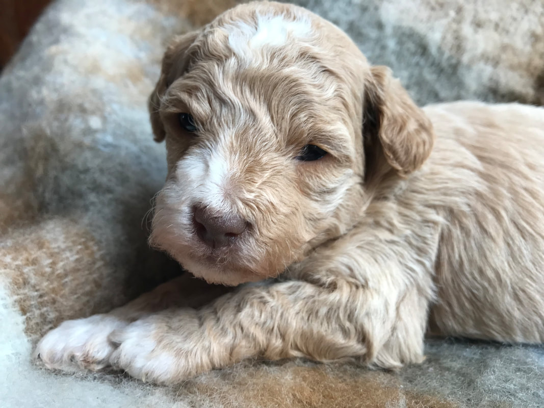 Labradoodle Puppies Home